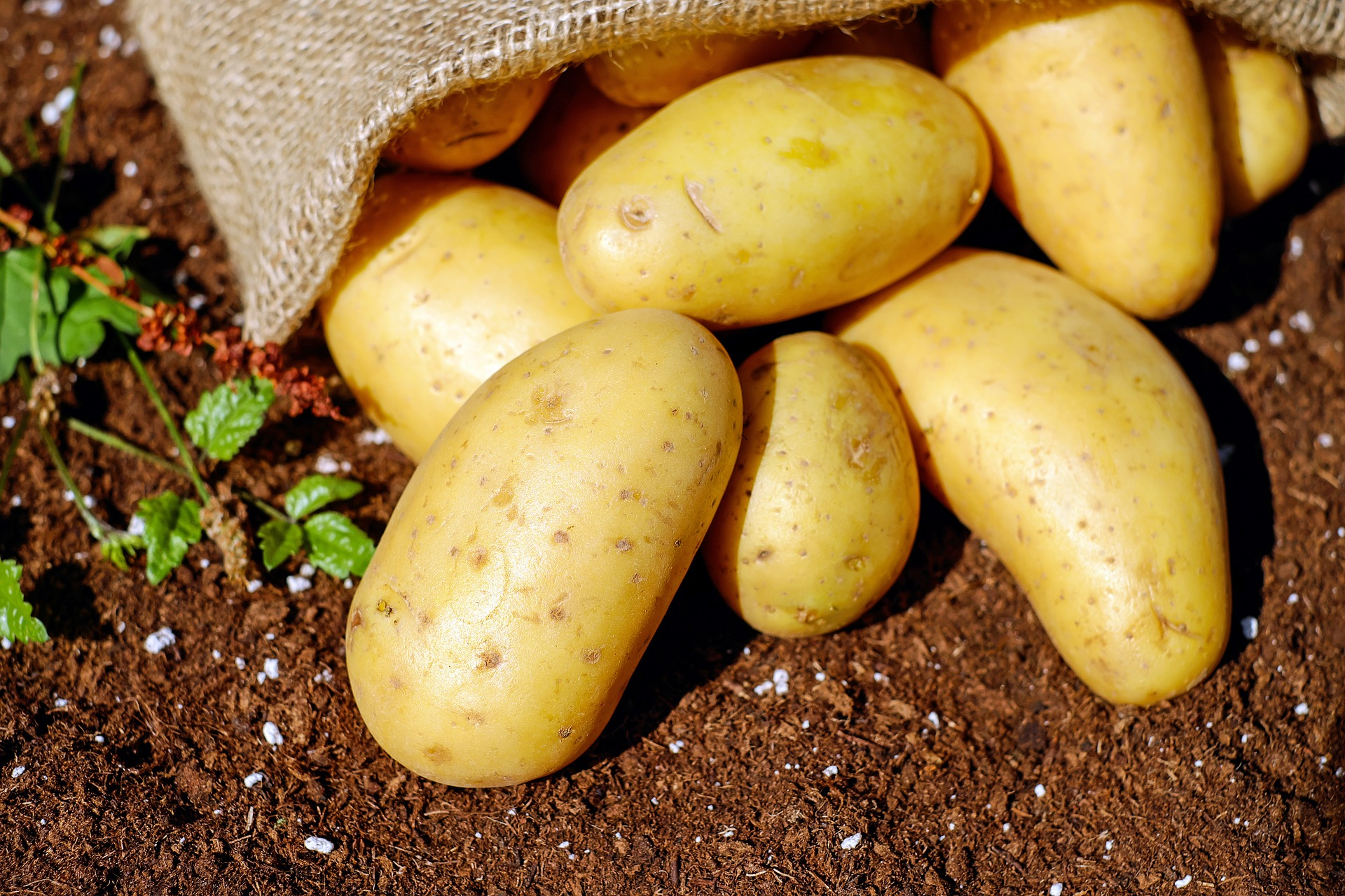 Fresh garden potatoes
