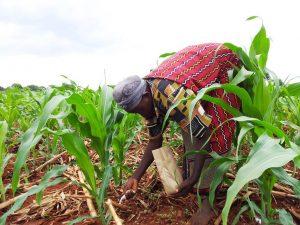 African woman applying fertilizer